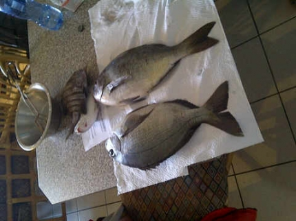 1.72 & 1.73 kg weighed , caught 1 on langostine and 1 on prawn Bronze Breams