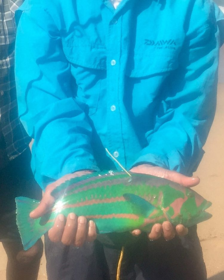 Rainbow wrasse, tagged and released. IMG_E6559